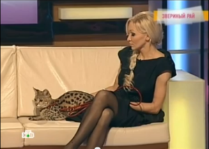 Savannah cat and beautiful owner in pantyhose