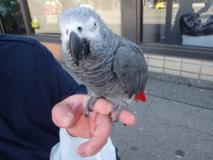 grey parrot on Davie street in Vancouver
